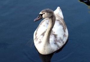 An_Ugly_Duckling_-_geograph.org.uk_-_640411